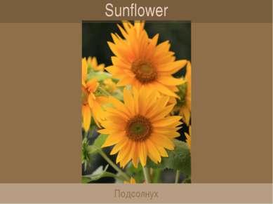Sunflower Подсолнух