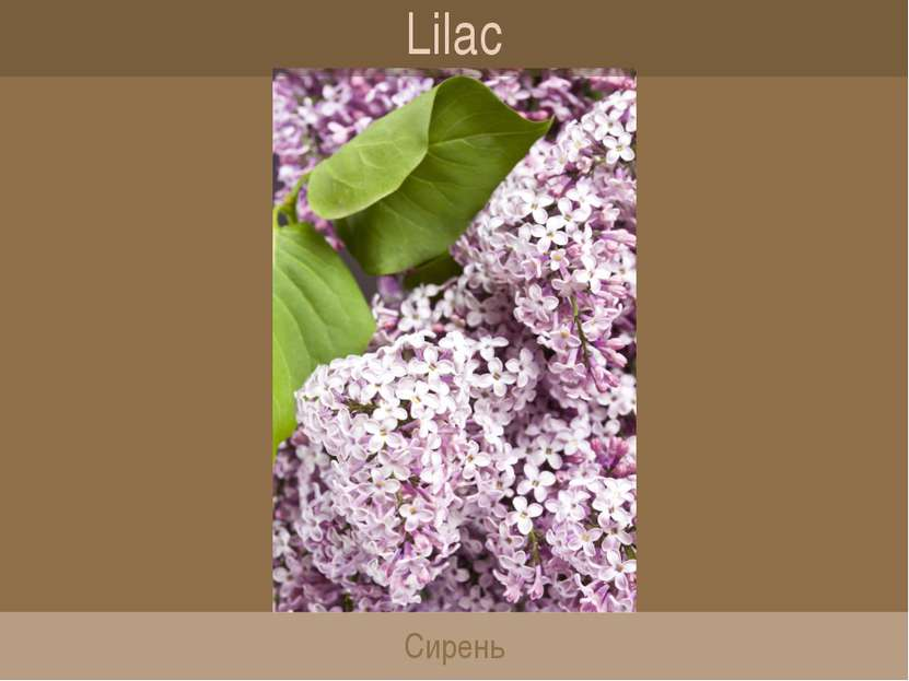 Lilac Сирень