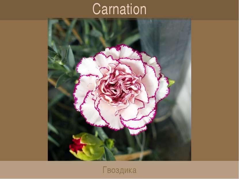 Carnation Гвоздика