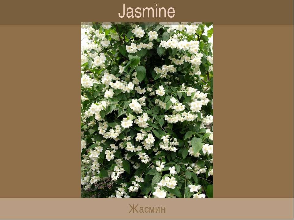 Jasmine Жасмин