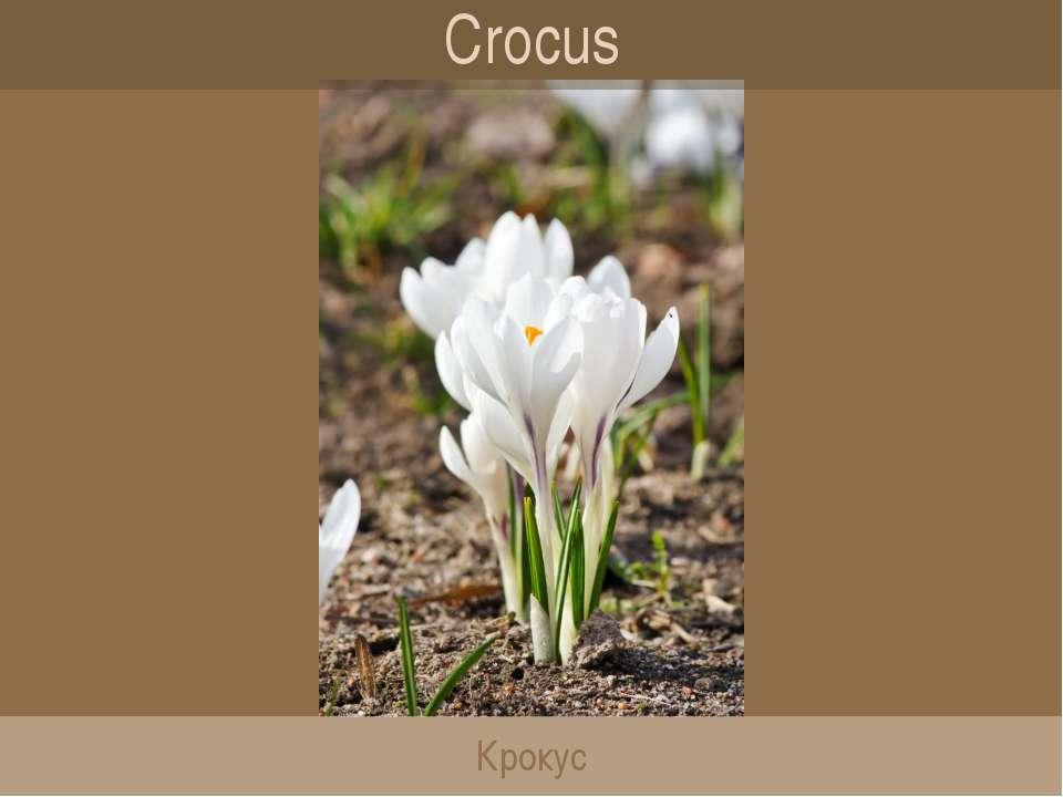 Crocus Крокус