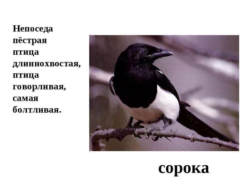 Непоседа пёстрая птица длиннохвостая, птица говорливая, самая болтливая. сорока