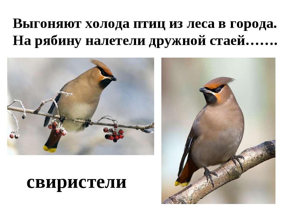 Выгоняют холода птиц из леса в города. На рябину налетели дружной стаей……. св...