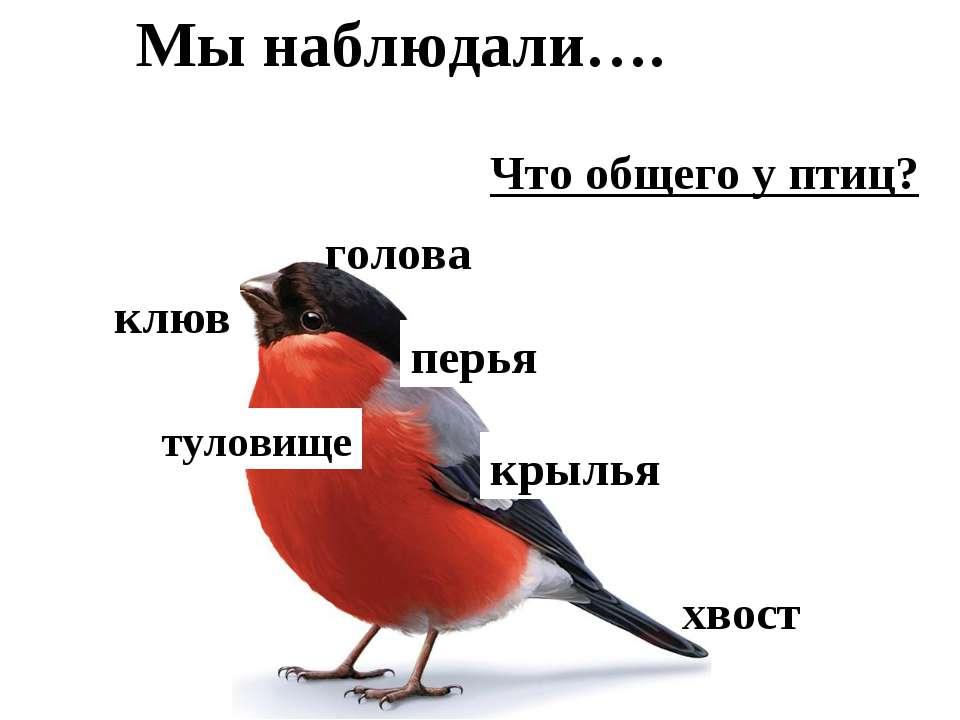 Что общего у птиц? туловище хвост голова клюв крылья перья Мы наблюдали….