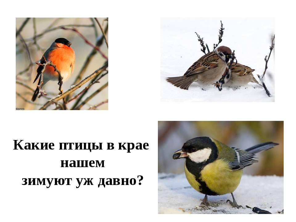 Какие птицы в крае нашем зимуют уж давно?