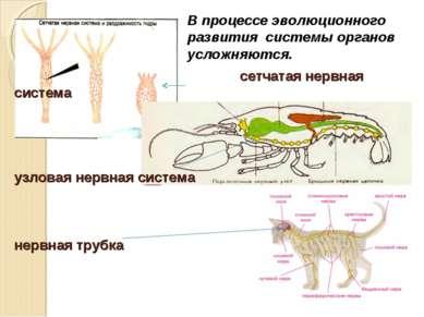 сетчатая нервная система узловая нервная система нервная трубка В процессе эв...