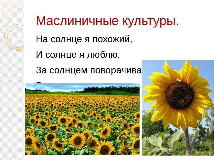 Маслиничные культуры. На солнце я похожий, И солнце я люблю, За солнцем повор...