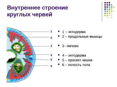 Внутреннее строение круглых червей 1 – эктодерма 2 – продольные мышцы 3 –яичн...
