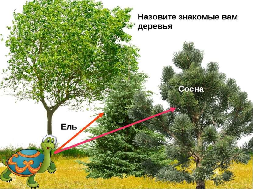 Назовите знакомые вам деревья Ель Сосна