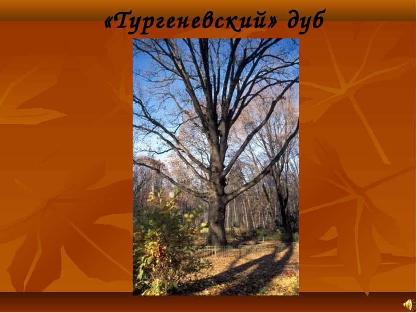«Тургеневский» дуб