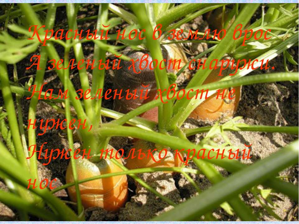 Красный нос в землю врос А зеленый хвост снаружи. Нам зеленый хвост не нужен,...
