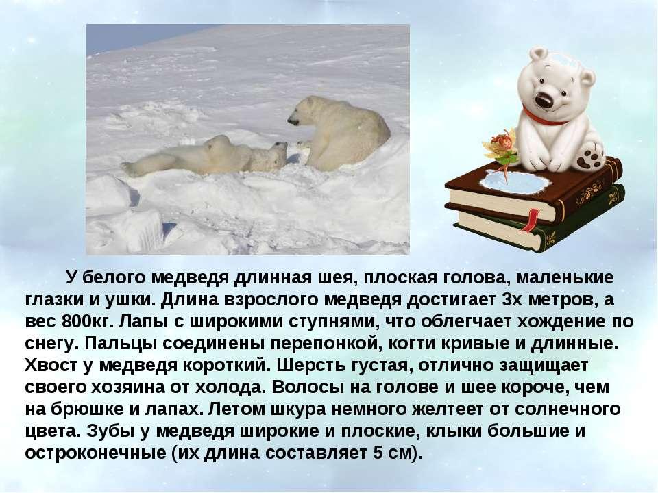 У белого медведя длинная шея, плоская голова, маленькие глазки и ушки. Длина ...