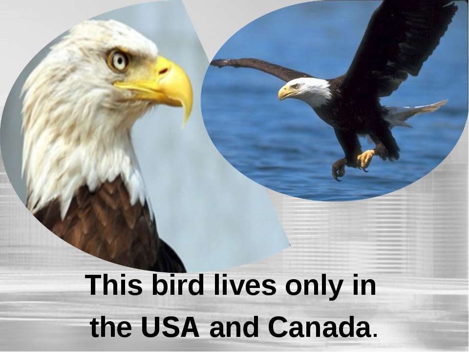 This bird lives only in the USA and Canada.