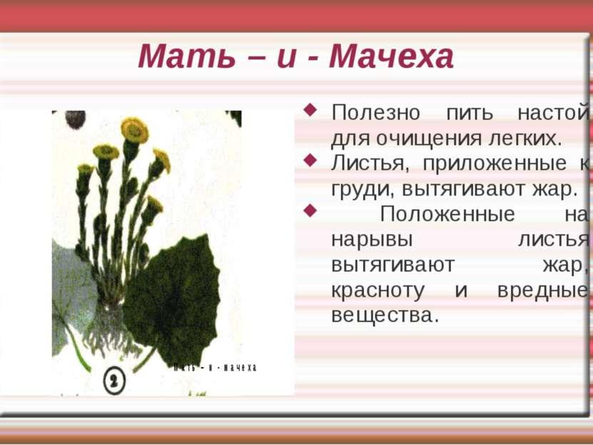 Мать – и - Мачеха Полезно пить настой для очищения легких. Листья, приложенны...
