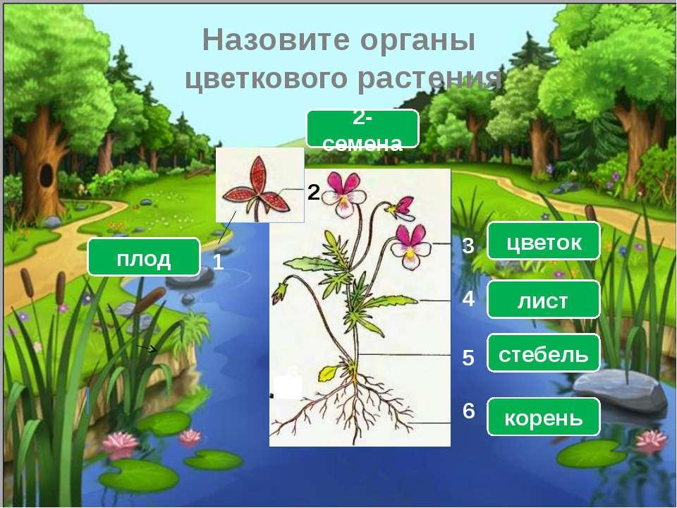 Назовите органы цветкового растения 6 1 2 3 4 5 6 плод 2-семена цветок лист с...