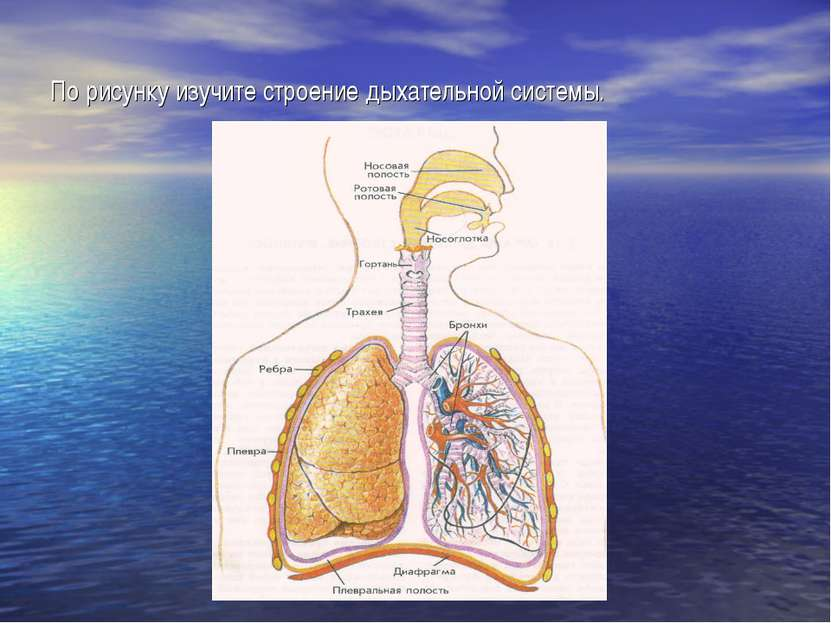 По рисунку изучите строение дыхательной системы.