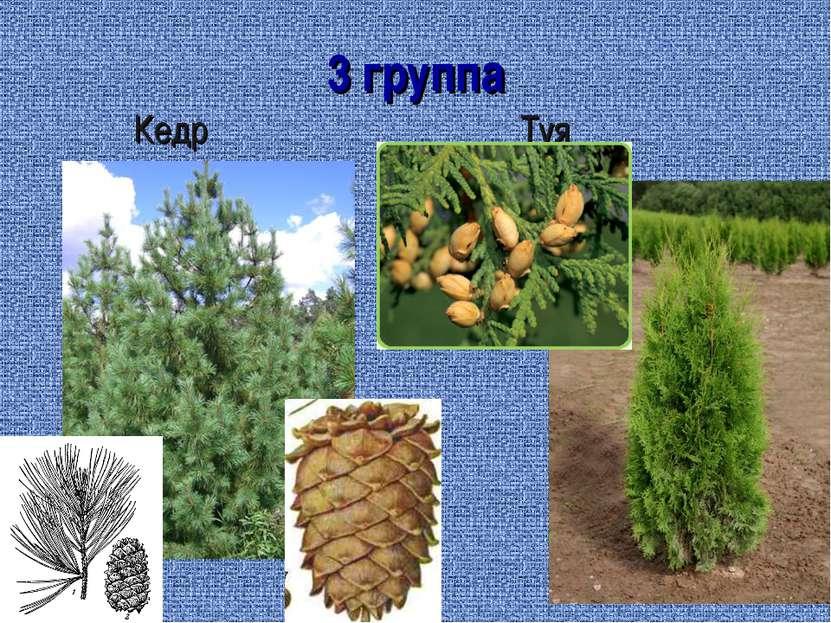 3 группа Кедр Туя