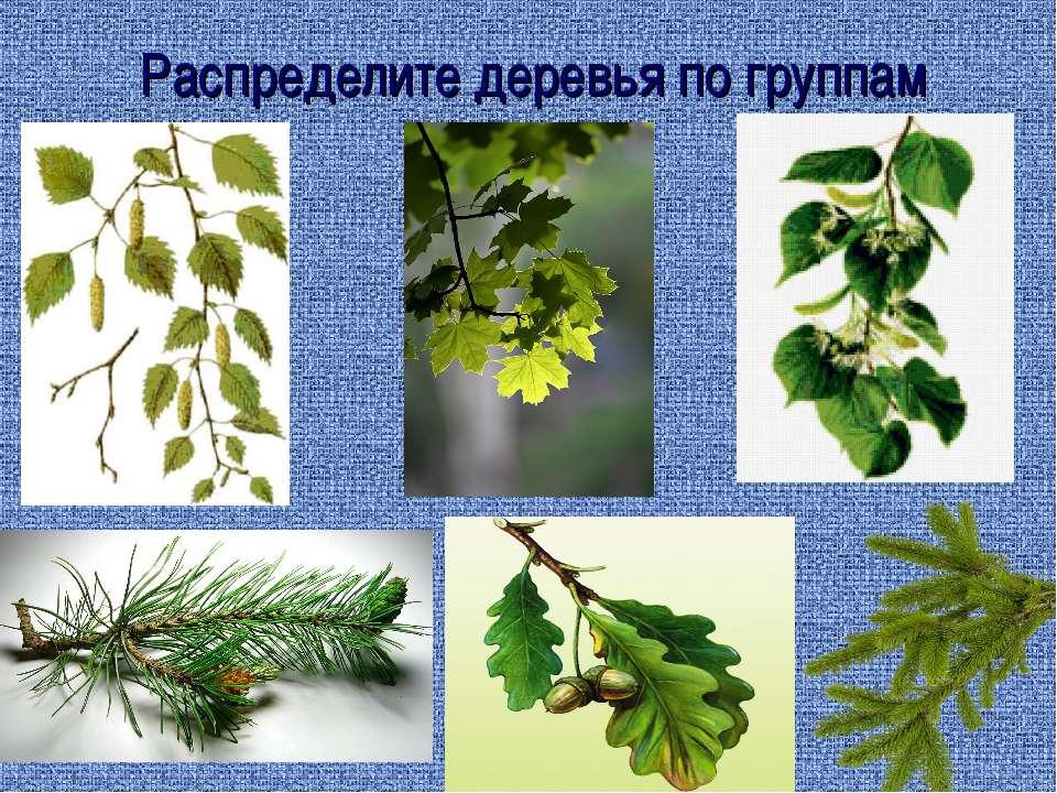 Распределите деревья по группам