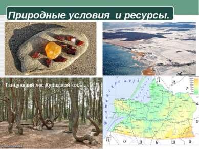 Природные условия и ресурсы. Танцующий лес Куршской косы.