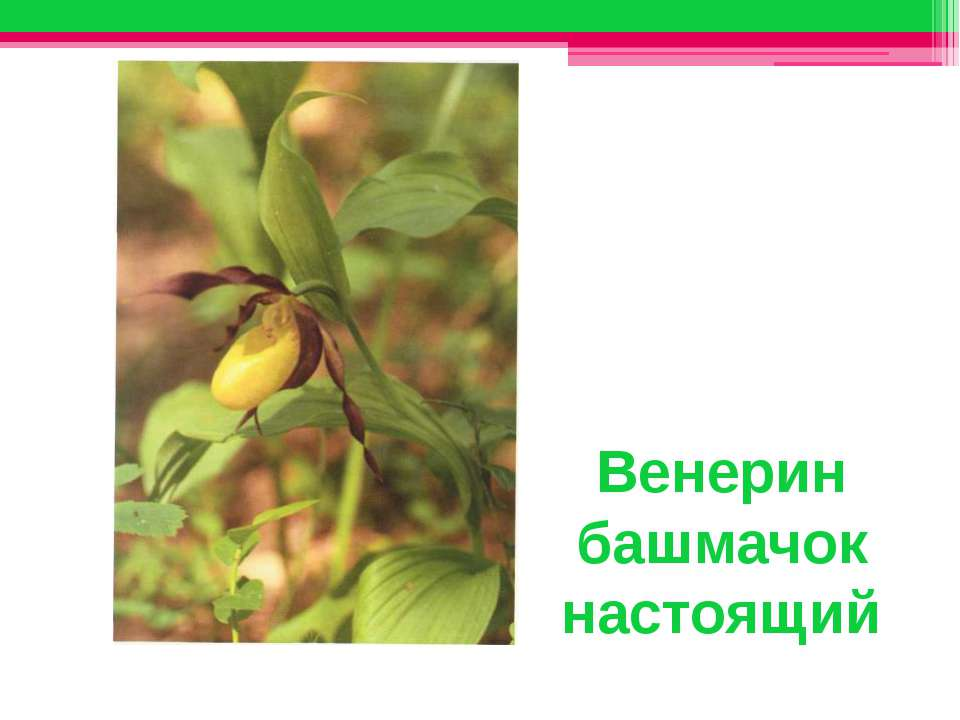 Венерин башмачок настоящий