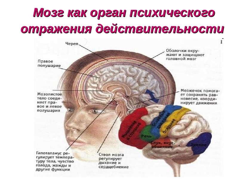 Мозг как орган психического отражения действительности