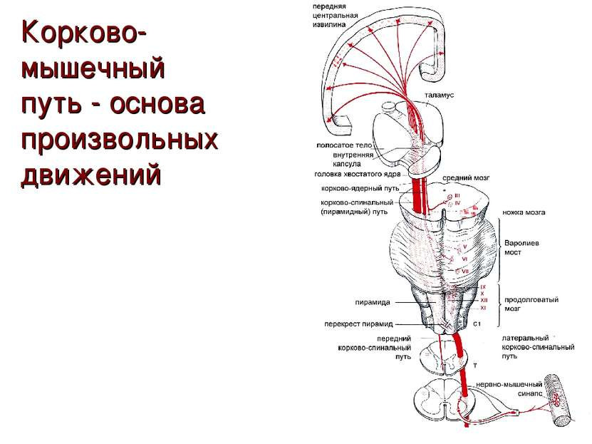 Корково-мышечный путь - основа произвольных движений