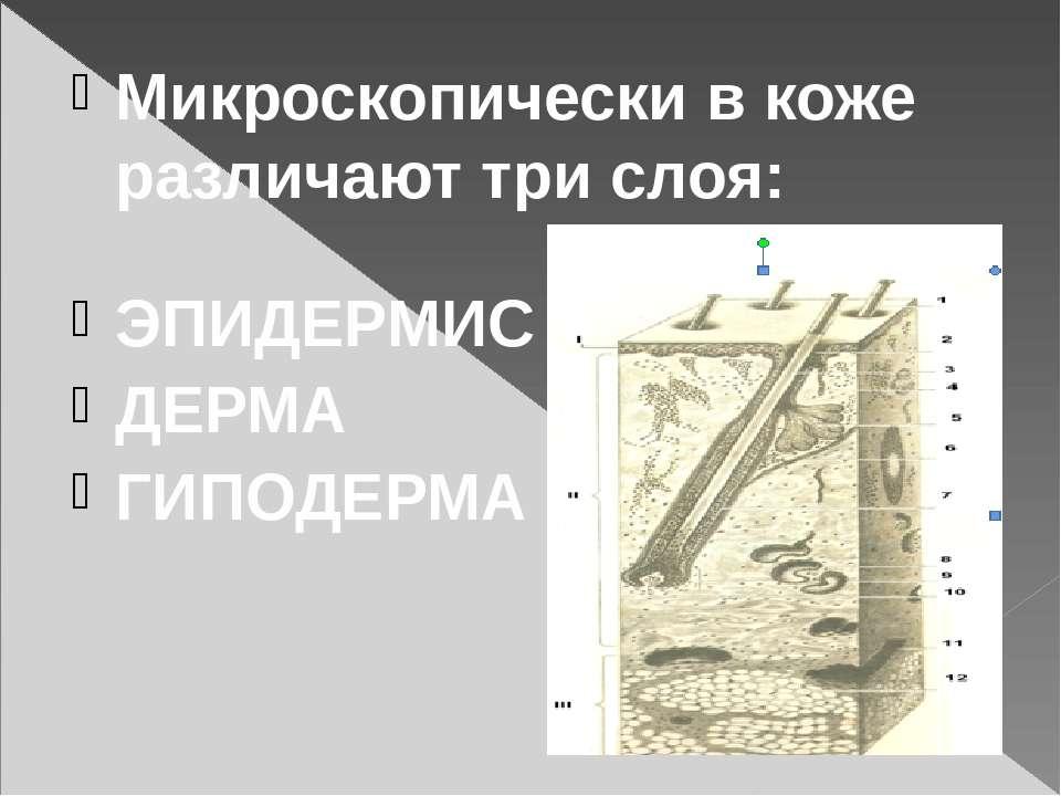 Микроскопически в коже различают три слоя: ЭПИДЕРМИС ДЕРМА ГИПОДЕРМА