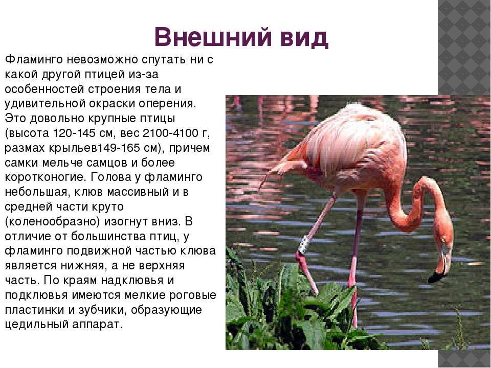 Внешний вид Фламинго невозможно спутать ни с какой другой птицей из-за особен...