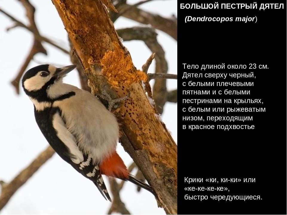 БОЛЬШОЙ ПЕСТРЫЙ ДЯТЕЛ (Dendrocopos major) Весной и самцы, и самки с увлечение...