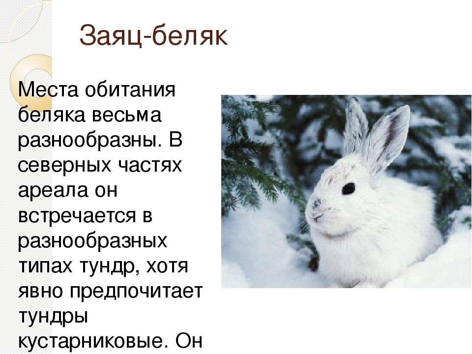 Заяц-беляк Места обитания беляка весьма разнообразны. В северных частях ареал...