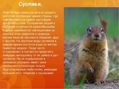 Суслики. Этих мелких зверьков можно увидеть на полях и огородах нашей страны,...