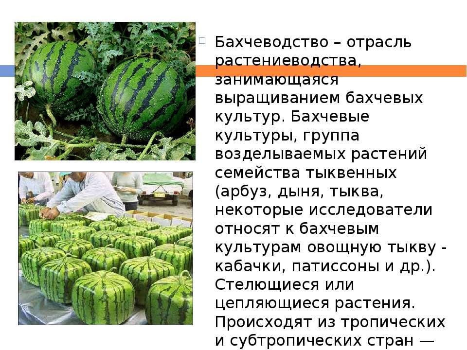 Бахчеводство– отрасль растениеводства, занимающаяся выращиванием бахчевых ку...
