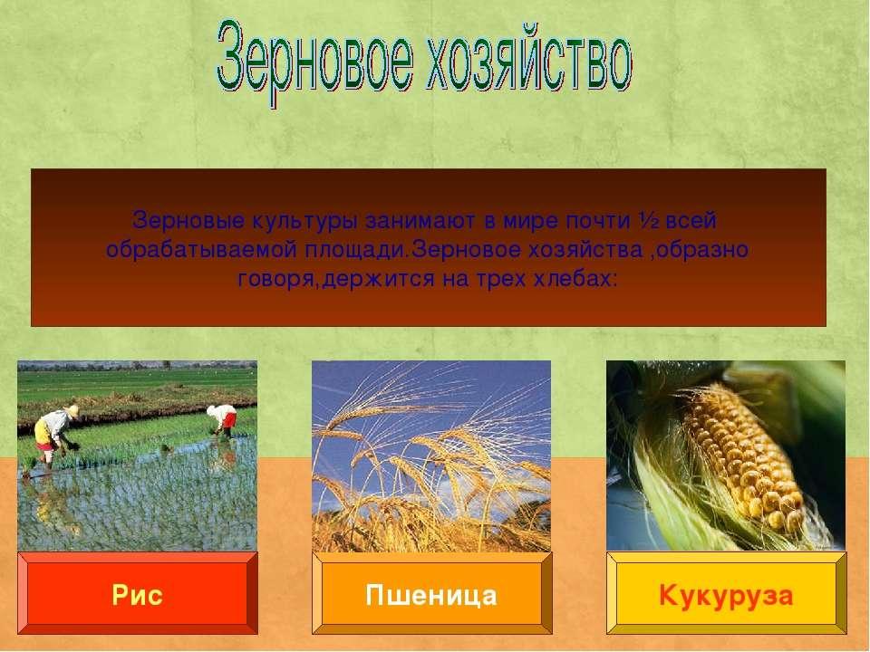 Пшеница Рис Кукуруза Зерновые культуры занимают в мире почти ½ всей обрабатыв...