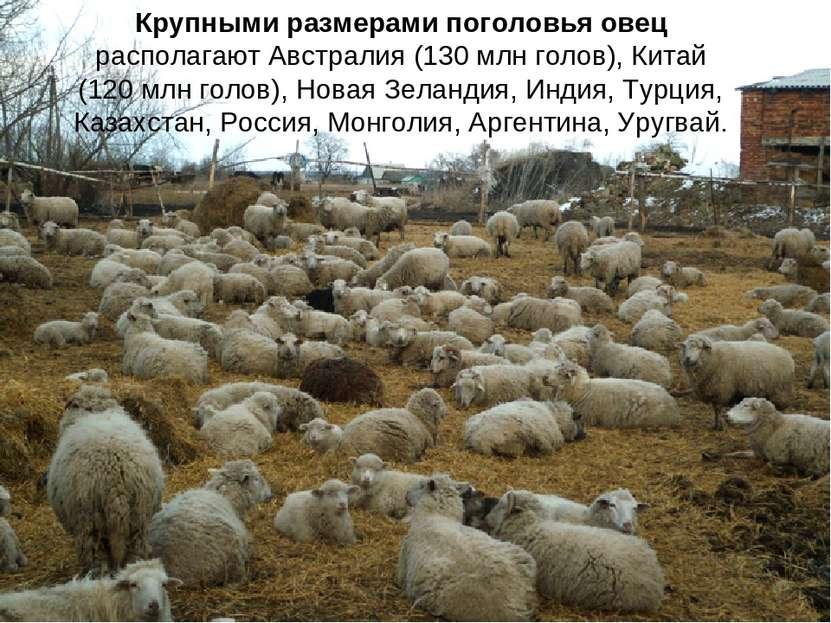 Крупными размерами поголовья овец располагают Австралия (130 млн голов), Кита...