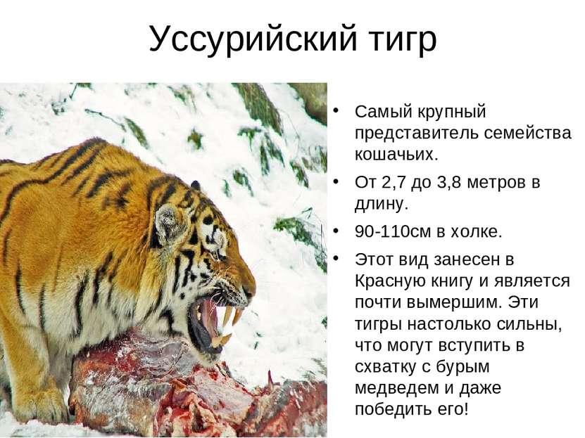 Уссурийский тигр Самый крупный представитель семейства кошачьих. От 2,7 до 3,...