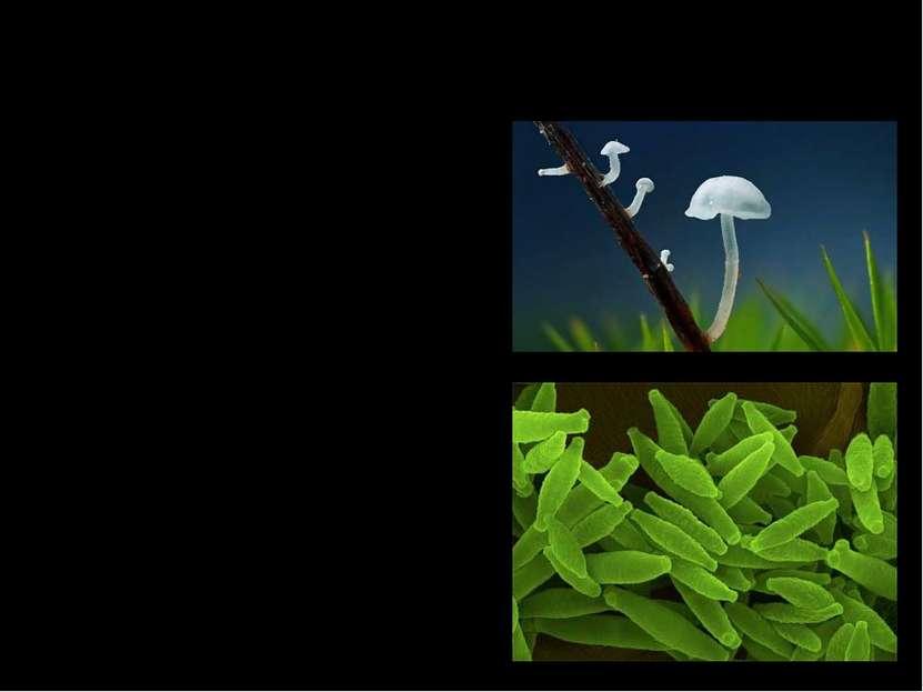 Несовершенные грибы. Дейтеромицеты, пли несовершенные грибы, наряду с аскомиц...