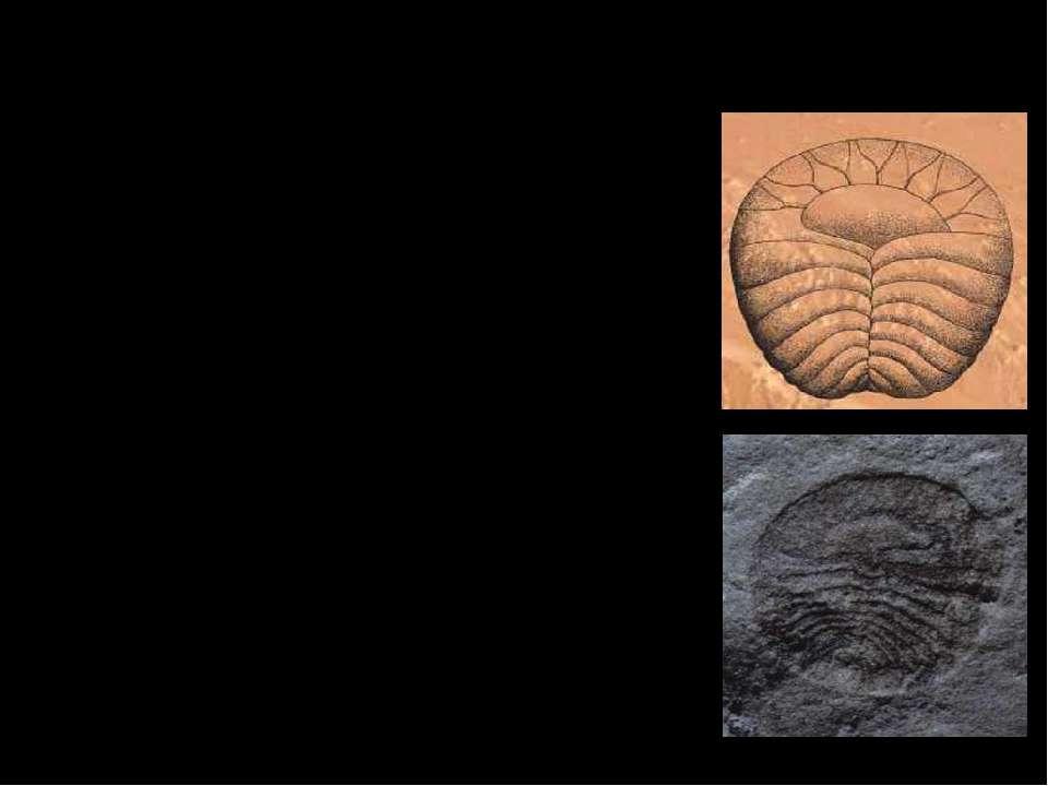 Археаспис. Отпечатки археасписов, выраженные в негативном рельефе, не превыша...