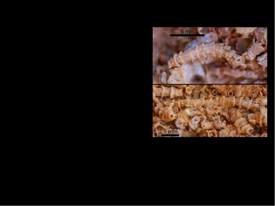 Cloudinidae. Cloudina — небольшое животное (диаметром от 0,3 до 6,5 мм; длино...