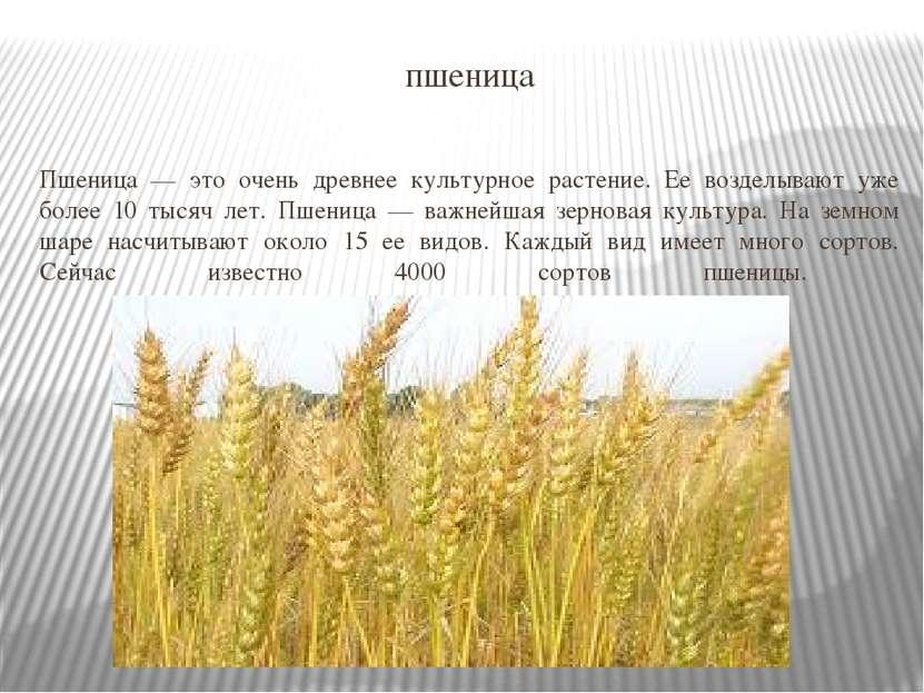 пшеница Пшеница — это очень древнее культурное растение. Ее возделывают уже б...
