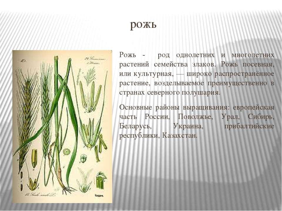 рожь Рожь - род однолетних и многолетних растений семейства злаков. Рожь посе...