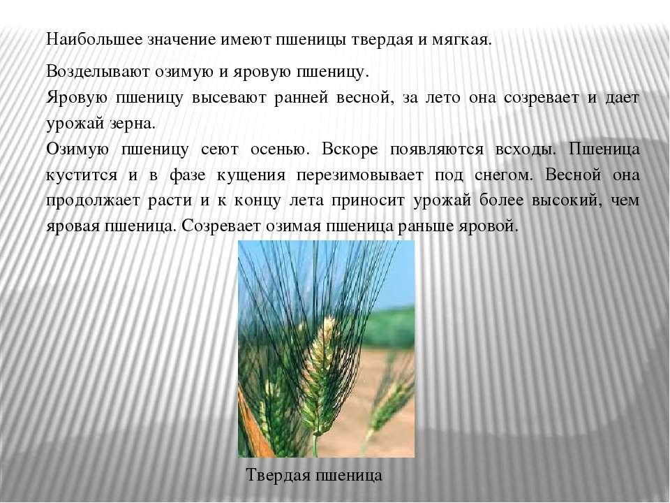 Наибольшее значение имеют пшеницы твердая и мягкая. Возделывают озимую и яров...
