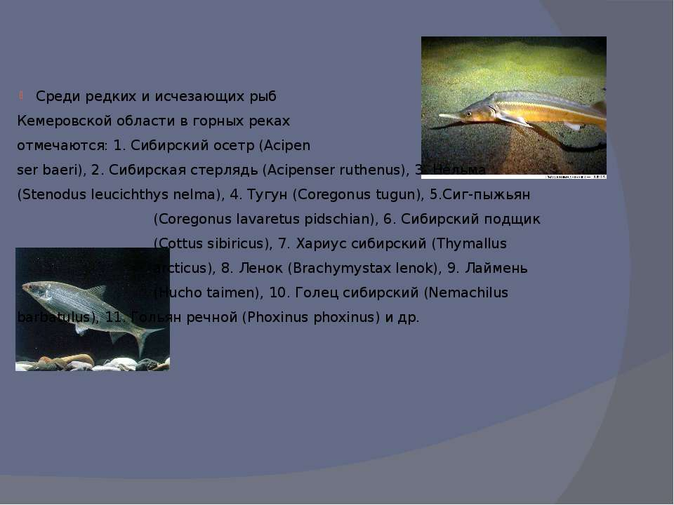 Среди редких и исчезающих рыб Кемеровской области в горных реках отмечаются: ...