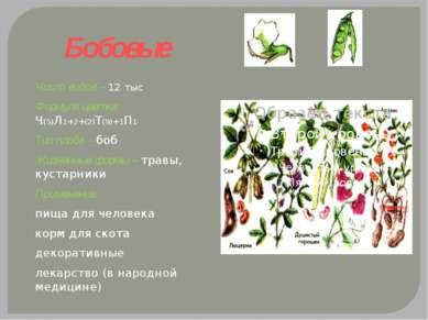 Бобовые Число видов – 12 тыс Формула цветка: Ч(5)Л1+2+(2)Т(9)+1П1 Тип плода –...
