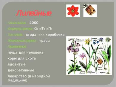 Лилейные Число видов – 4000 Формула цветка: О3+3Т3+3П1 Тип плода – ягода или ...