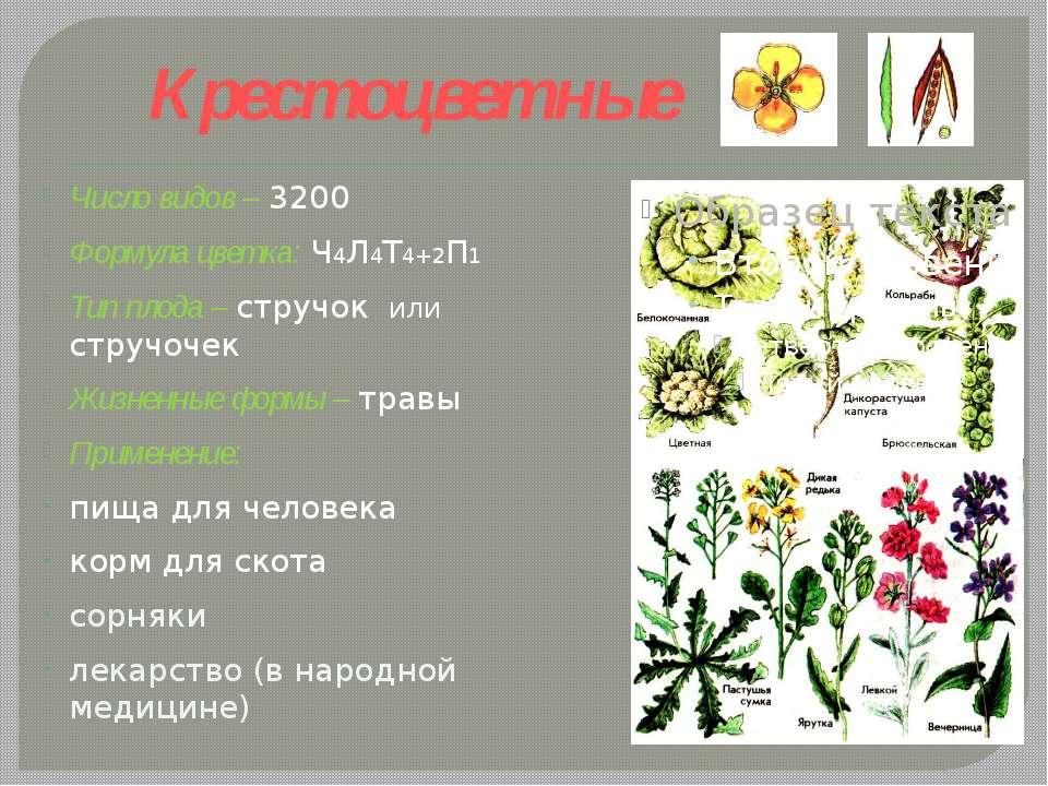 Крестоцветные Число видов – 3200 Формула цветка: Ч4Л4Т4+2П1 Тип плода – струч...