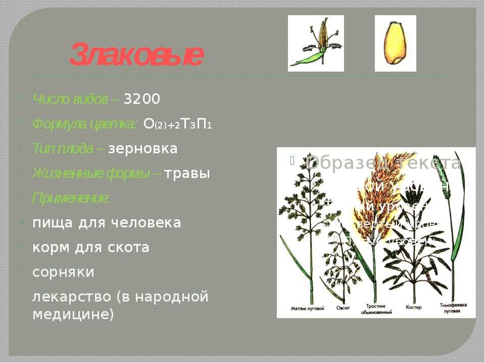 Злаковые Число видов – 3200 Формула цветка: О(2)+2Т3П1 Тип плода – зерновка Ж...