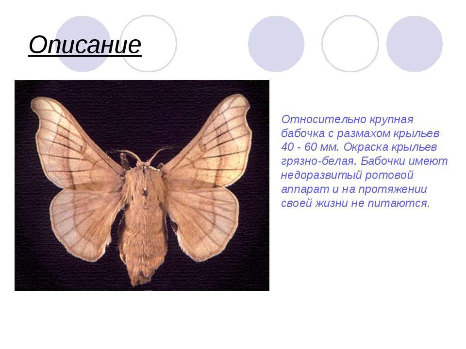 Описание Относительно крупная бабочка с размахом крыльев 40 - 60 мм. Окраска ...