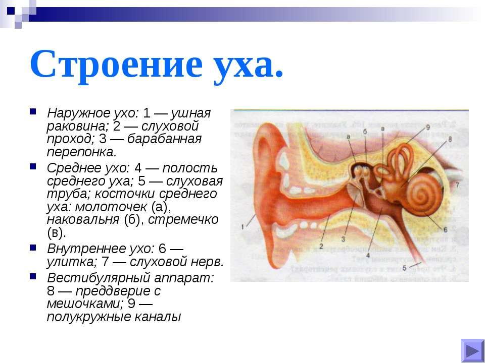 Строение уха. Наружное ухо: 1 — ушная раковина; 2 — слуховой проход; 3 — бара...