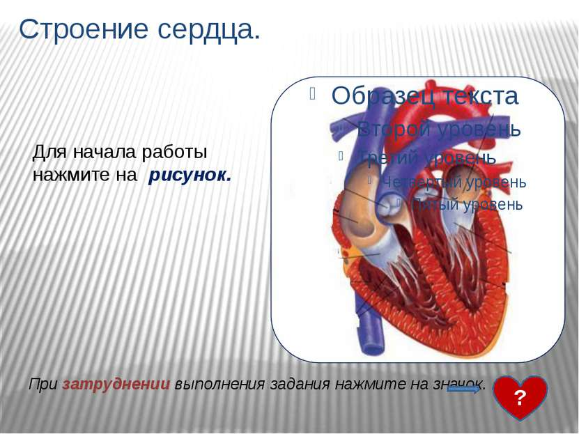 Строение сердца. 1- верхняя полая вена 2- полулунные клапаны 3- правое предсе...