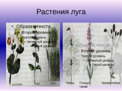 Растения луга Хвощ Плакун-трава Кровохлебка